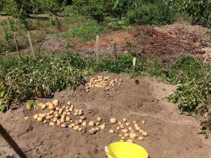 ジャガイモの試し堀